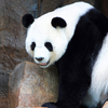 Chiang Mai Zoo Panda