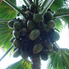 Coconut Tree - Seychelles National Park