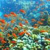 Yolanda Coral Reef In Ras Mohammed