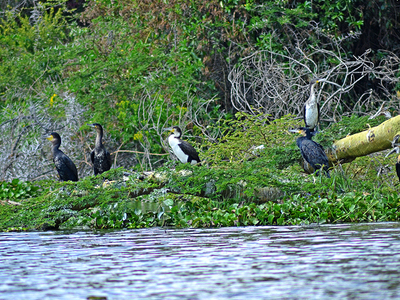 Cormorants Lake Naivasha