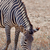 Crawshay Zebra