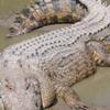 Crocodile Bhitarkanika 2