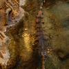 False Gharial In Wetland
