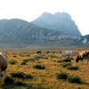 Cows Graze At Campo Imperatore