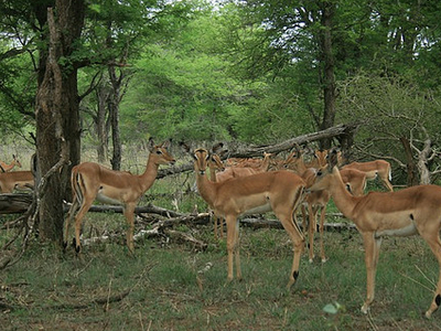 Deer At Kruger National Park