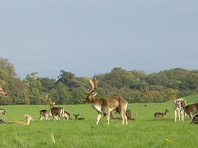 Deer Grazing Near Papal Cross In Phoenix Park