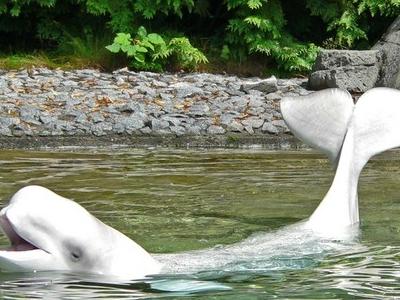 Beluga - Vancouver Aquarium