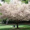 Descanso-Cherry Blossom