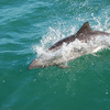 Dolphins At Luderitz - Namibia