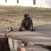 Monkey Inside Amber Fort