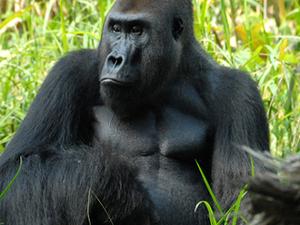 Cameroon Gorilla Tracking Tours Photos