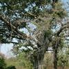 Beautiful Tree At Ranakpur