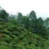 Makaibari Tea Estate - Kurseong - Darjeeling