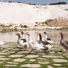 Ducks In Pamukkale