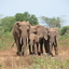 Elephants At Lake Manyara