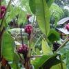 Ecuador Puyo Bananablossom
