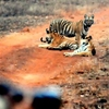 No Way Without Permission - Tiger Family At Tadoba