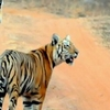 Tadoba Tigers - Leading Us All The Way