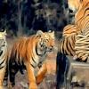 Tadoba Tigers - Flocking Together