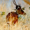 Spotted Deer On The Run - Tadoba