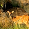 Possing For Vistors - Female Deer In Tadoba