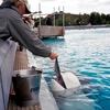 Feeding A Beluga Named Priscilla