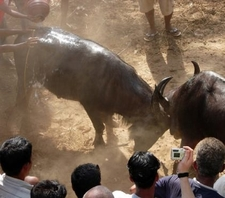 Fighting Bulls Benaulim
