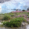 Flowers In Maniitsoq