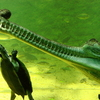Gharial And Turtle