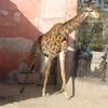 A Giraffe At Alexandria Zoo