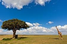 Giraffe In The Wild - Tanzania