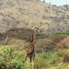 Lake Manyara National Park - Giraffe
