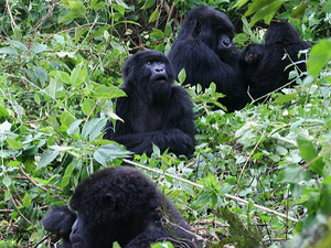 Uganda Highlights - Gorillas & Chimps