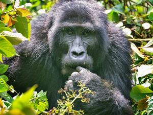 3 Day Fly-in Gorilla Tracking In Uganda Photos