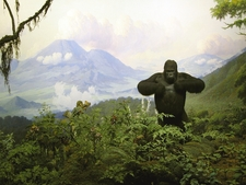 Gorilla Diorama In Akeley Hall