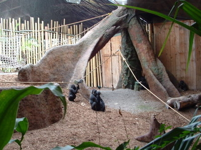 Gorilla Rainforest - Toronto Zoo