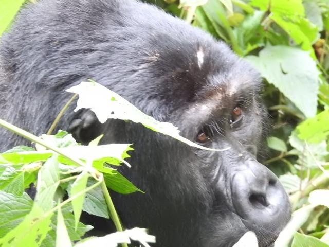 Gorilla Safari Uganda Photos