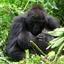 Gorilla Safari
