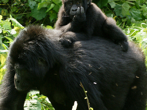 3-days Gorilla Tracking Nkuringo with Lake Mutanda. Photos