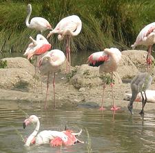 Greater Flamingos At Pulicat Lake Bird Sanctuary