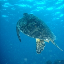 Green Sea Turtle On The Great Barrier Reef