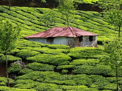 Green Tea Plantations At Munnar