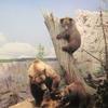 Grizzly Bear Diorama