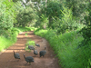 Guinea Fowl In Niokolo-Koba National Park
