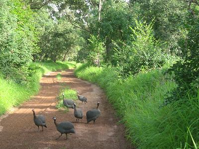Guinea Fowl In Niokolo-Koba National Park