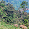 Indian Elephants Near Gavi