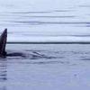 Bowhead Whale Foxe Basin