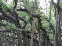 The Great Banyan