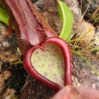 Heart Shape Pitcher Plant