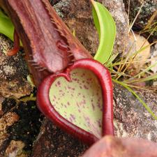 Heart Shape Pitcher Plant
